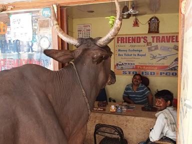 牛が旅行会社訪問.jpg