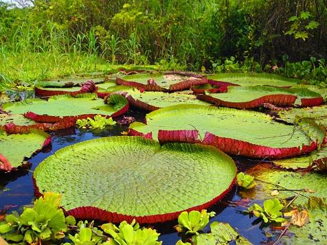 アマゾン植物.jpg